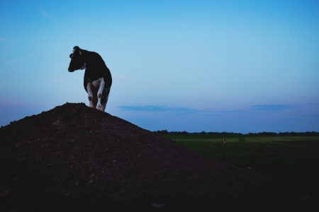 Cow on a gravel hill