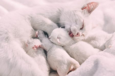 Mother cat caressing kittens
