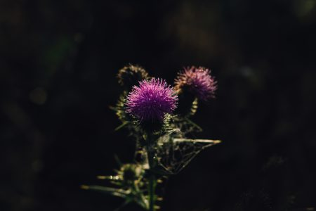 Dew on a purple thistle 2