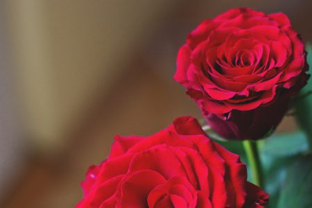 Red roses - free stock photo