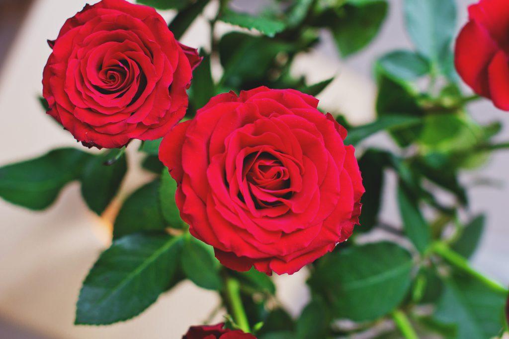 Roses - free stock photo