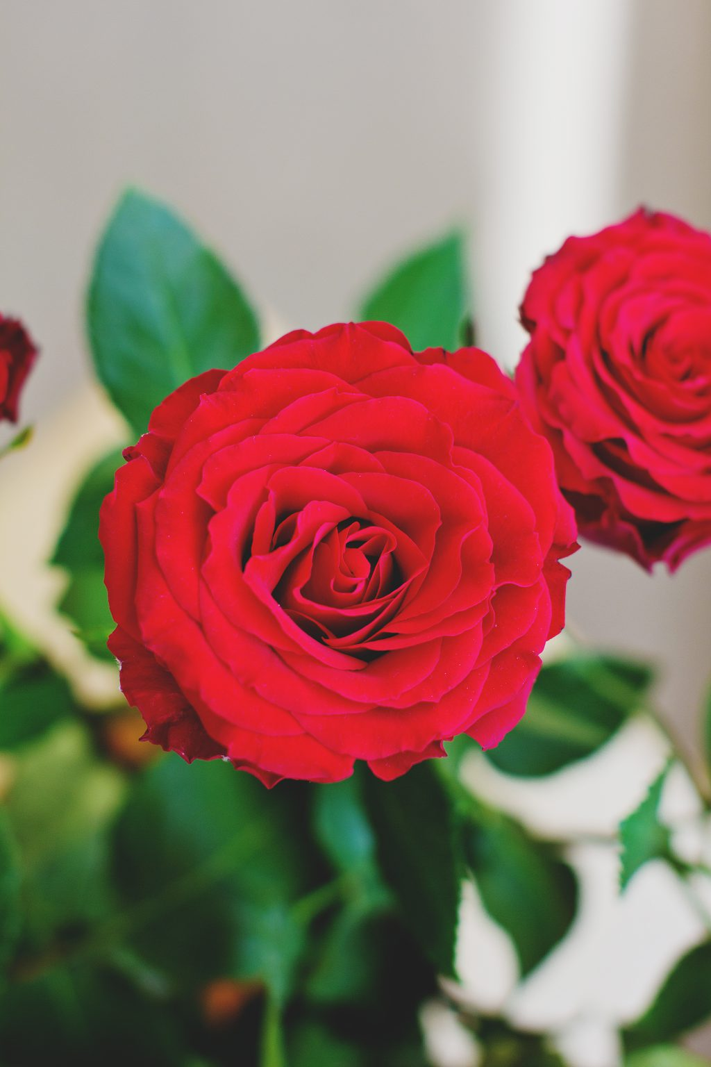 Dutch roses - free stock photo