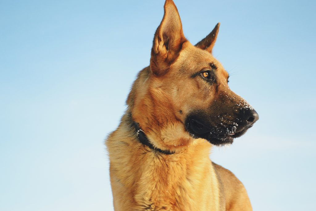 German shepherd - free stock photo