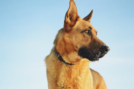 German shepherd - free stock photo