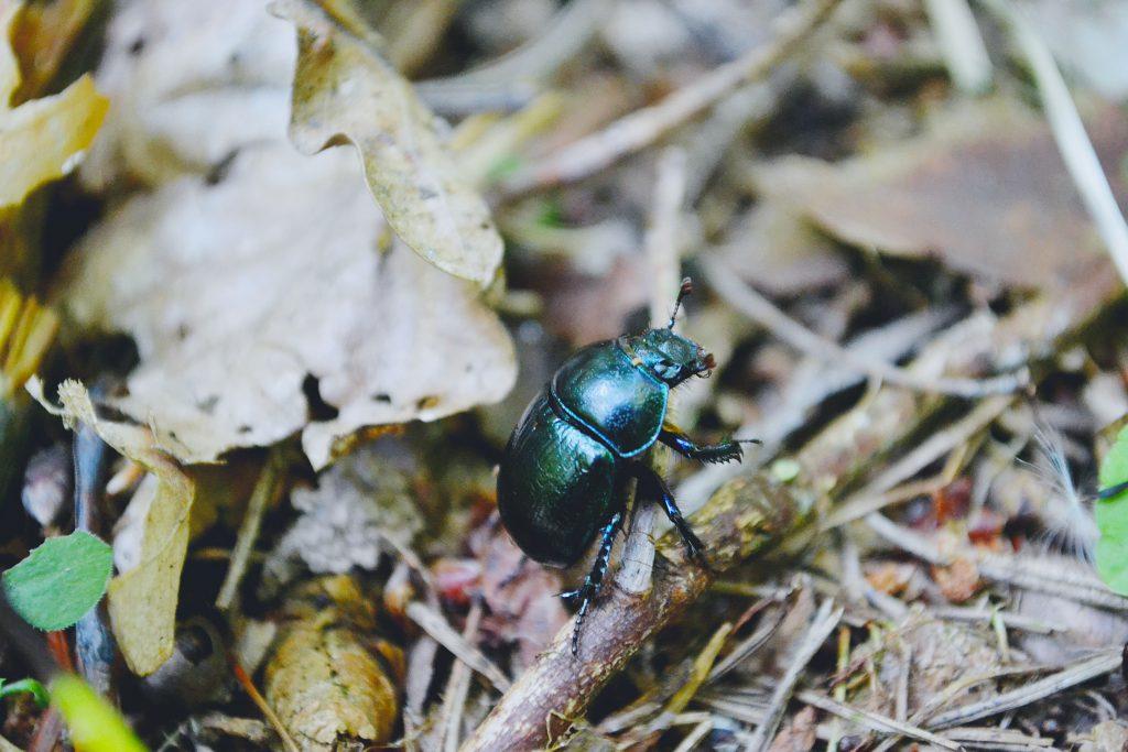 Beetle - free stock photo