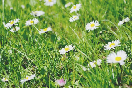 Daisies - free stock photo