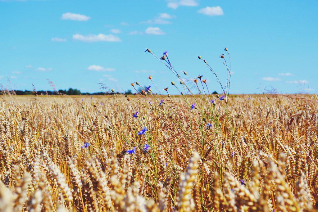 Wheat Field - free stock photo
