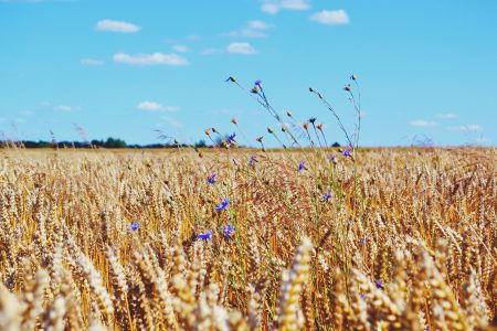 Wheat Field - free stock photo