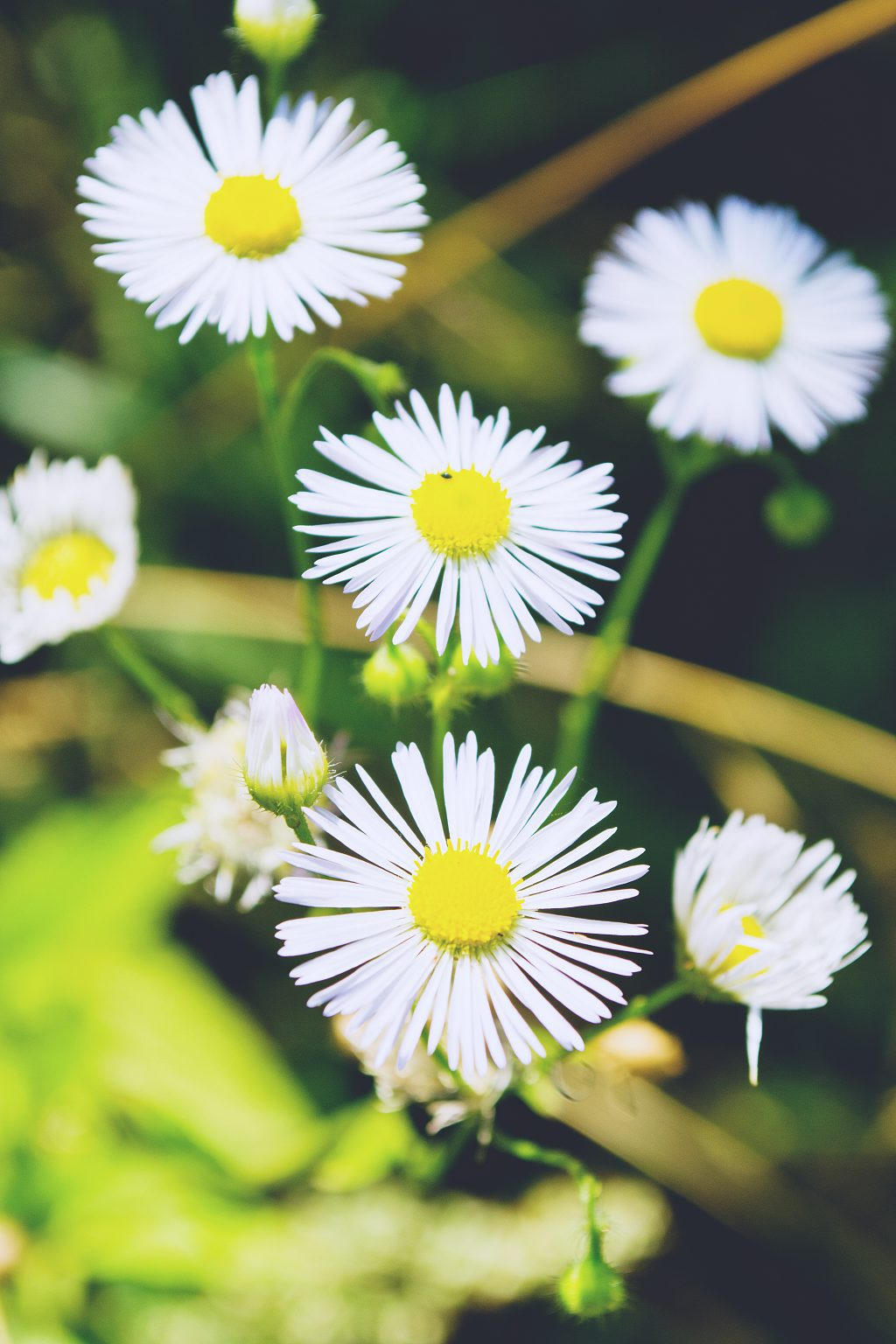White flowers - free stock photo