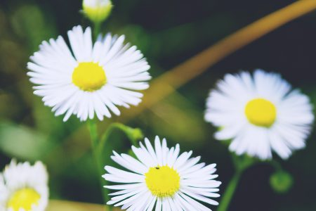 White flowers - free stock photo