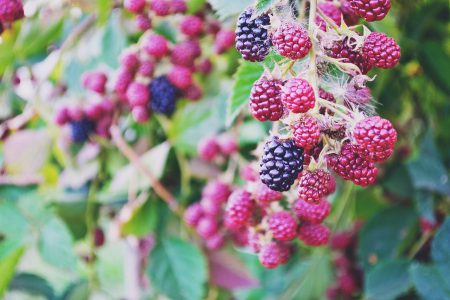 Blackberries - free stock photo