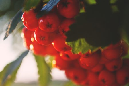 Red rowan - free stock photo