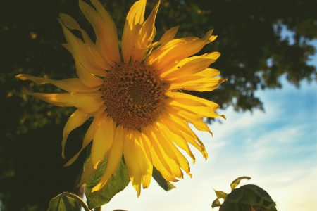 Sunflower - free stock photo
