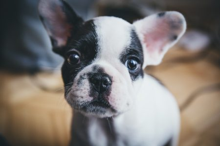 French Bulldog puppy - free stock photo
