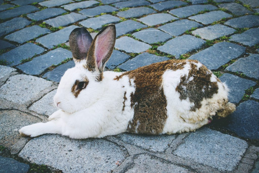 Rabbit - free stock photo