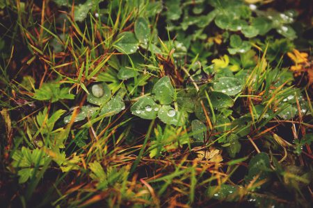 Clover in the grass - free stock photo