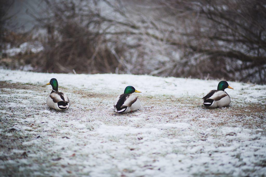 Three ducks - free stock photo