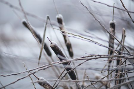 Frozen cattails - free stock photo