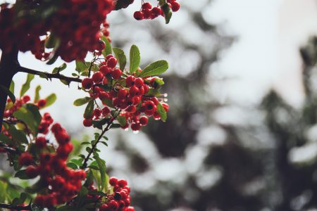 Rowan in December - free stock photo