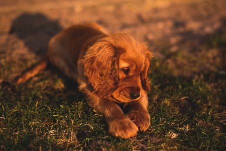 English Cocker Spaniel puppy - free stock photo