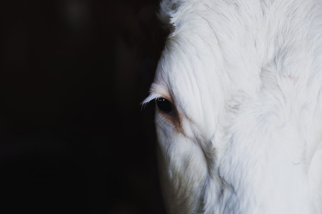 Cow's eye - free stock photo