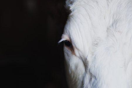 Cow's eye