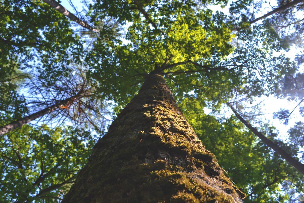 Tree trunk - free stock photo