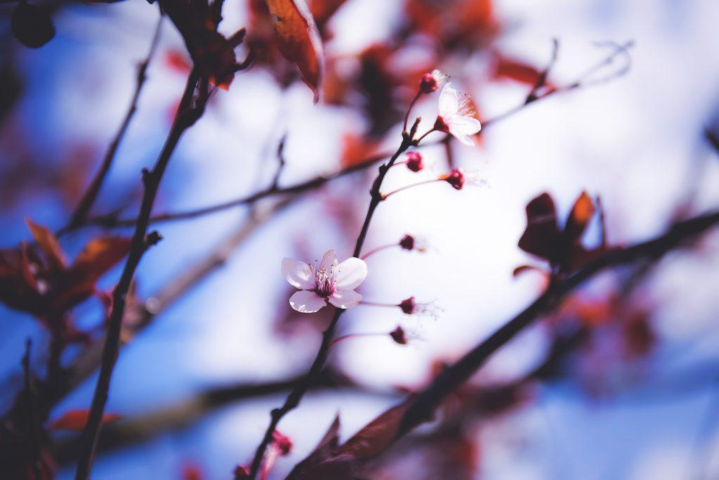 Blooming tree - free stock photo
