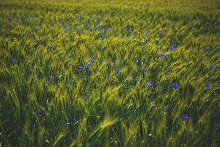Cornflowers on triticale field - free stock photo
