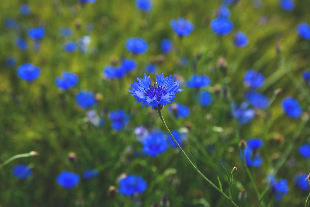 Field of cornflowers - free stock photo