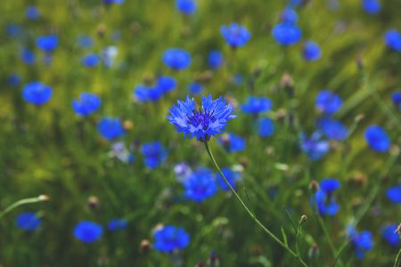Field of cornflowers - free stock photo