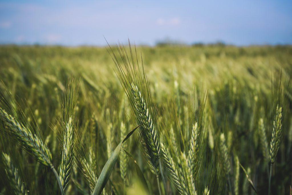 Field of barley 2 - free stock photo