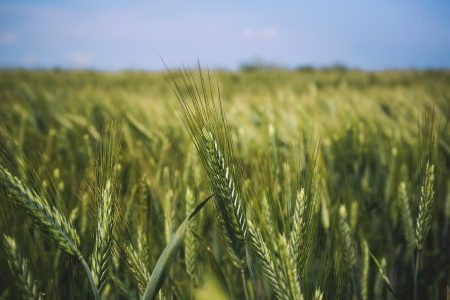 Field of triticale - free stock photo