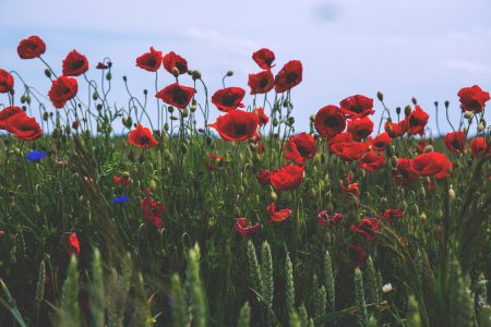 Poppies - free stock photo