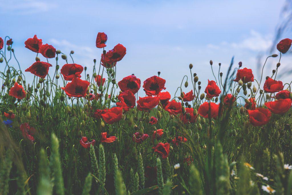 Poppies 2 - free stock photo