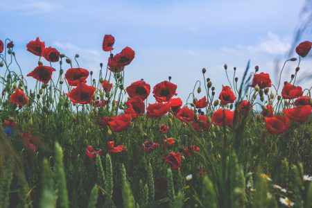 Poppies 2 - free stock photo