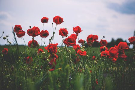 Poppies 3 - free stock photo
