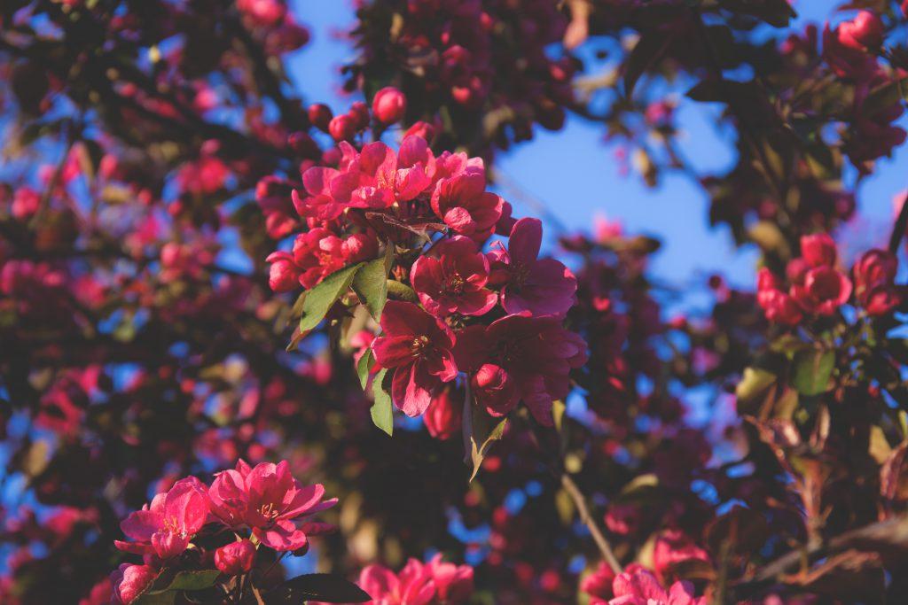 Tree blossom - free stock photo