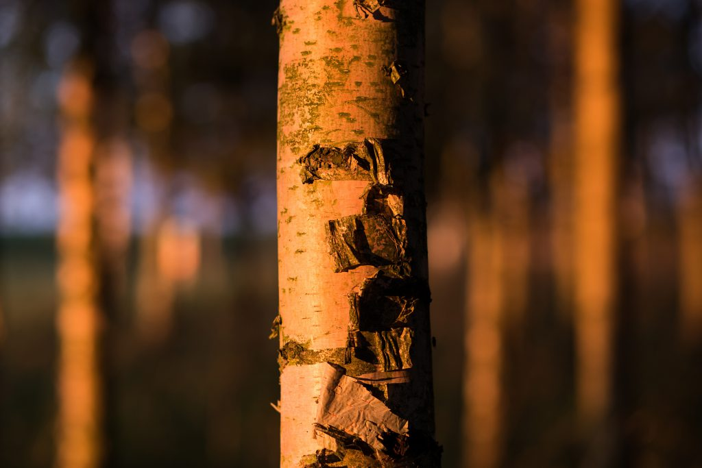 Birch trunk - free stock photo
