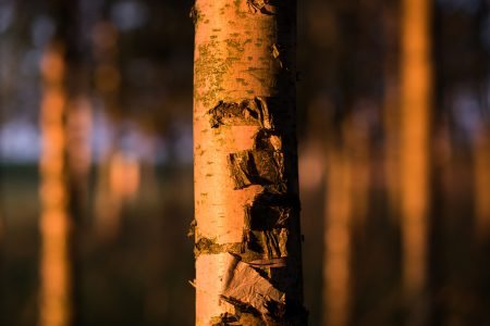 Birch trunk - free stock photo