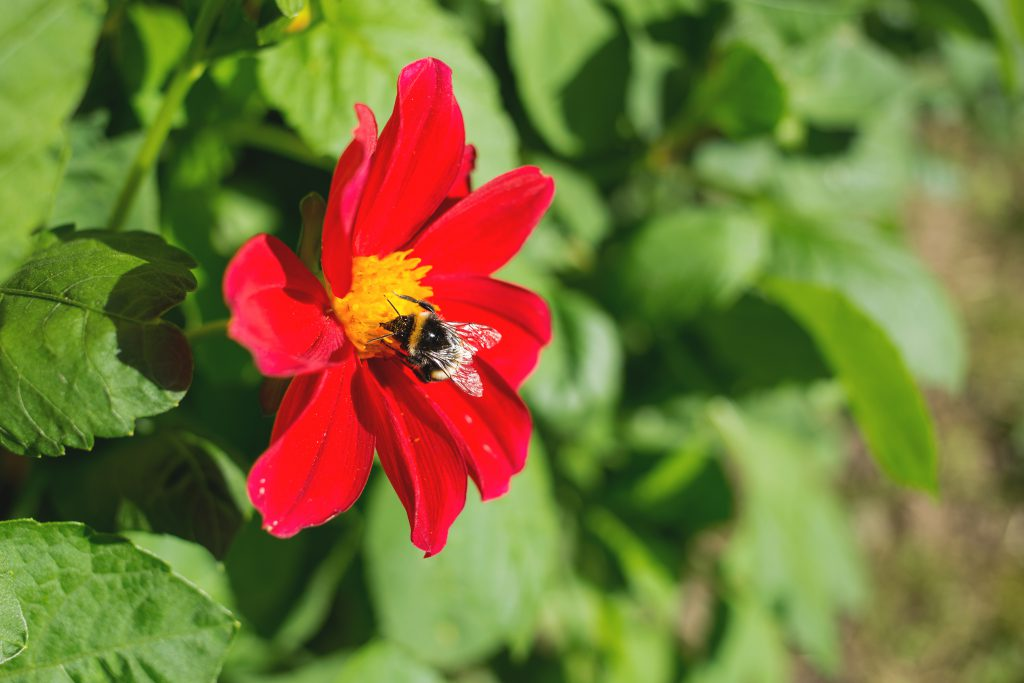 Bumblebee on the red flower - free stock photo