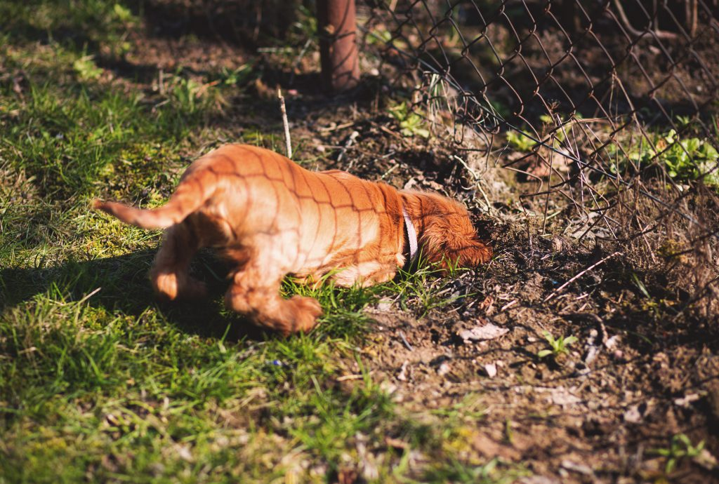 Digging dog - free stock photo