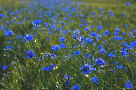 Field of cornflowers 2 - free stock photo
