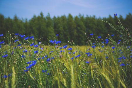 Field of cornflowers 3 - free stock photo