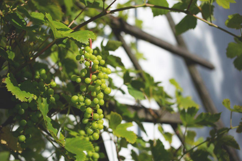 Green grapes 2 - free stock photo