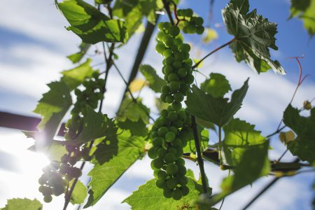 Green grapes 3 - free stock photo