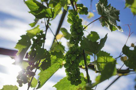 Green grapes 3