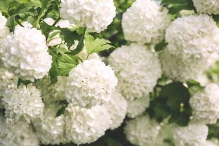 Guelder rose - free stock photo