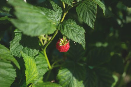 Raspberry bush - free stock photo