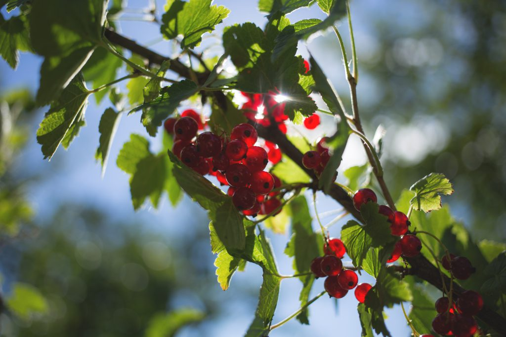 Red currant - free stock photo